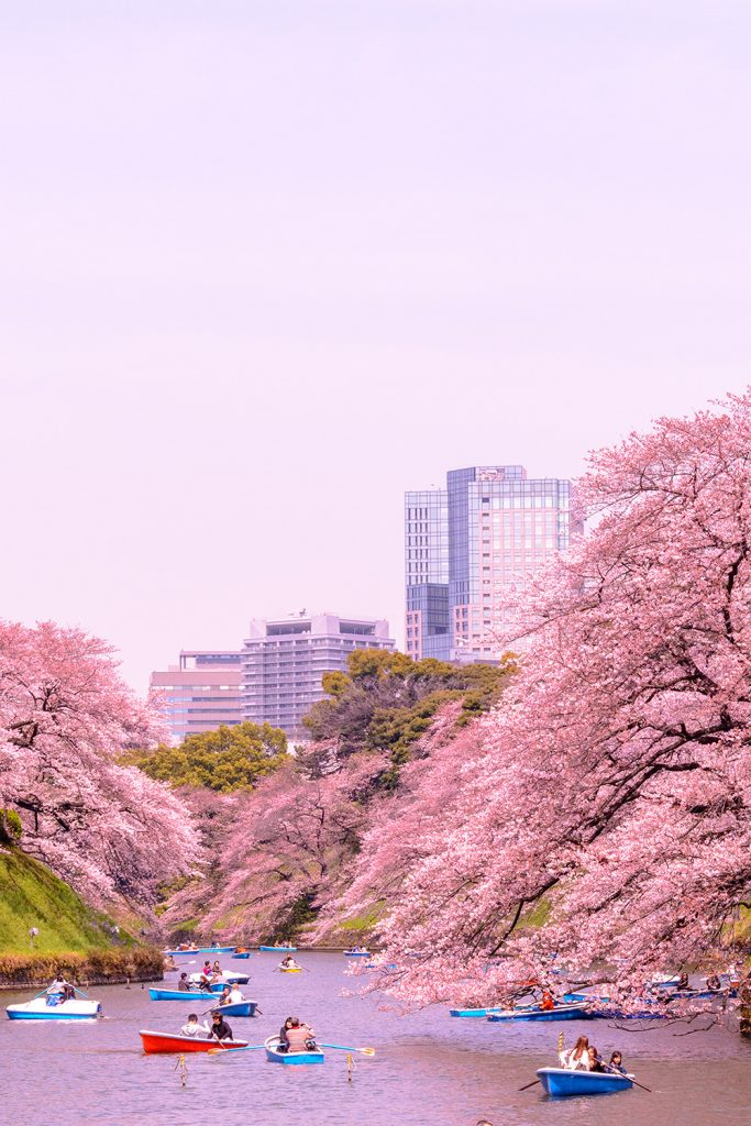 The Chidorigafuchi moat of the Imperial Palace in Tokyo during the cherry blossom