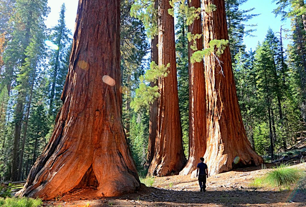 The Giant forest inside the Sequoia National Park
