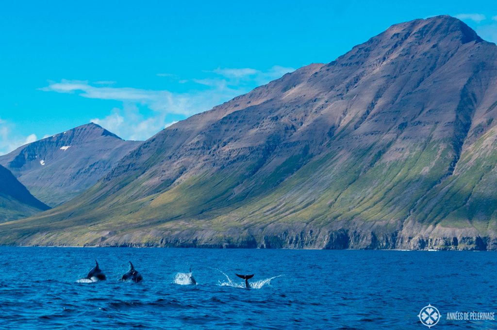 A school of dolphins near the coast in Iceland in summer