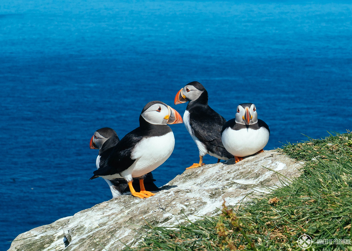 A puffin colony on the island of Mykines in the Faroe Islands
