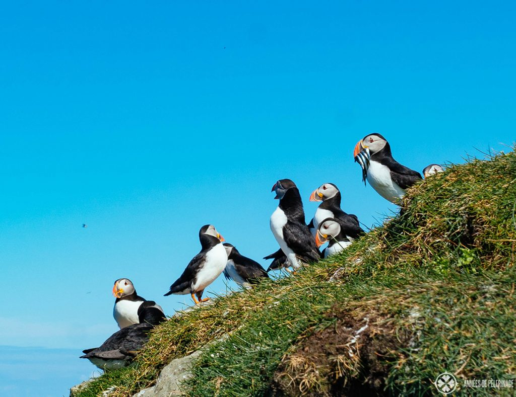 Watching puffins is one of the top tourist attractions you can actually enjoy from a harbor cruise in Reykjavik in Summer | Iceland
