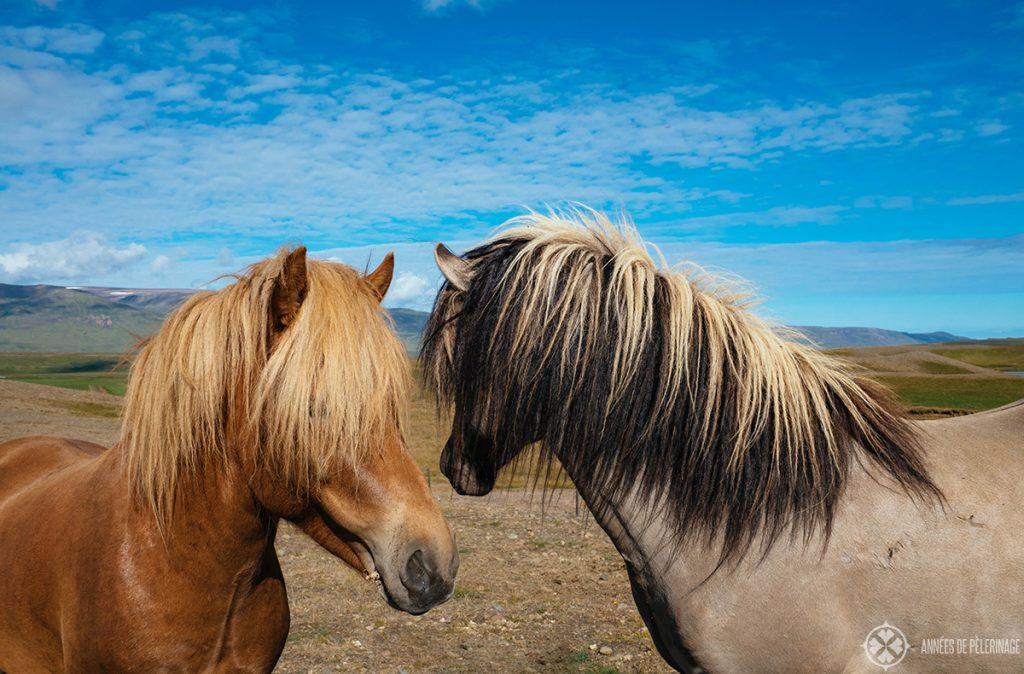 Horse riding in Iceland with local Icelandic horses
