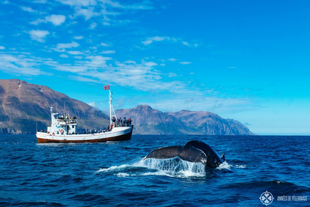 A humpback whale in the fjord of Akureyri on a whalewatching tour in Iceland