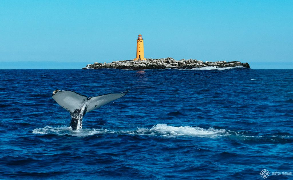 A humpback whale near the lighthouse in Akureyri bay seen on a whale watching house