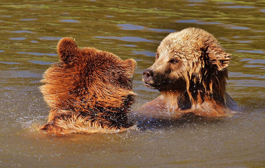 Two bears playing in the water in Wildpark Poing