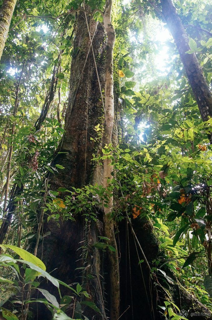 The green canopy of trees and leaves on an amazon tour in ecuador