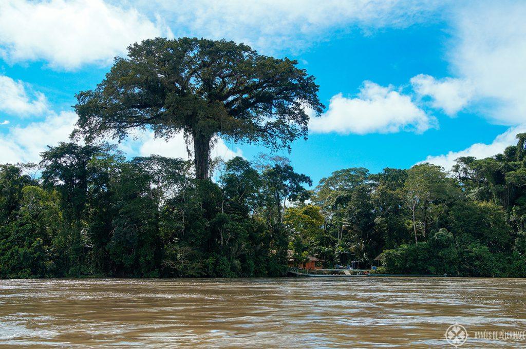 Seen on an Ecuador Amazon tour: A giant mahagony tree on the banks of the Nappo river near the Yasuni National park