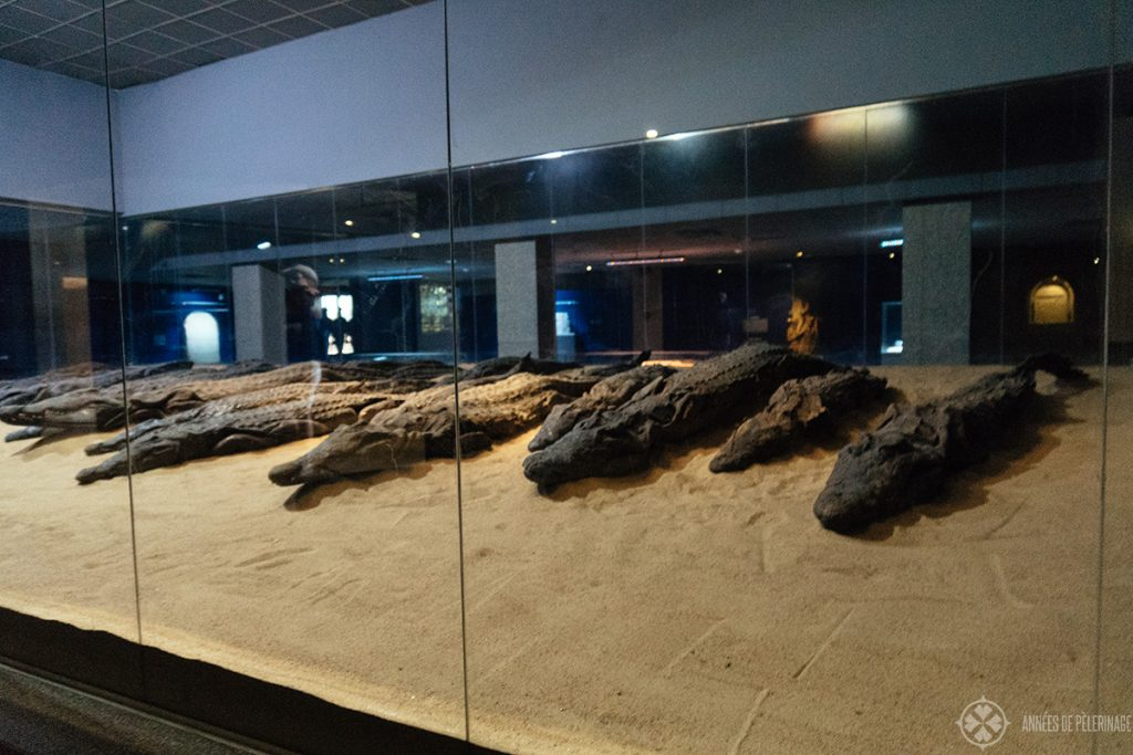 Crocodile mummies at the Kom Ombo temple in Egypt