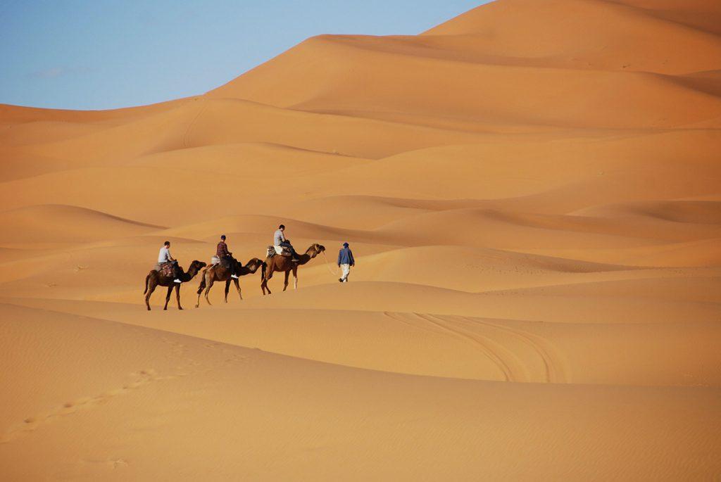 Camels riding over the grand dunes of the Sahara in Morocco