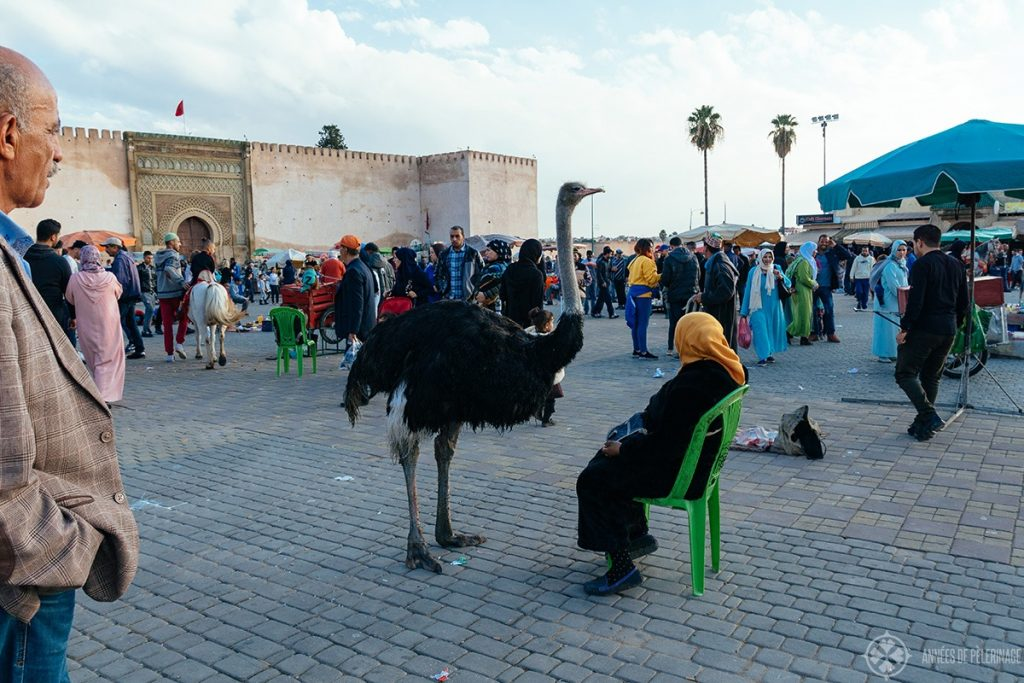 A lady with her pet ostrich (apparently a thing in Morocco) on el Hedim square