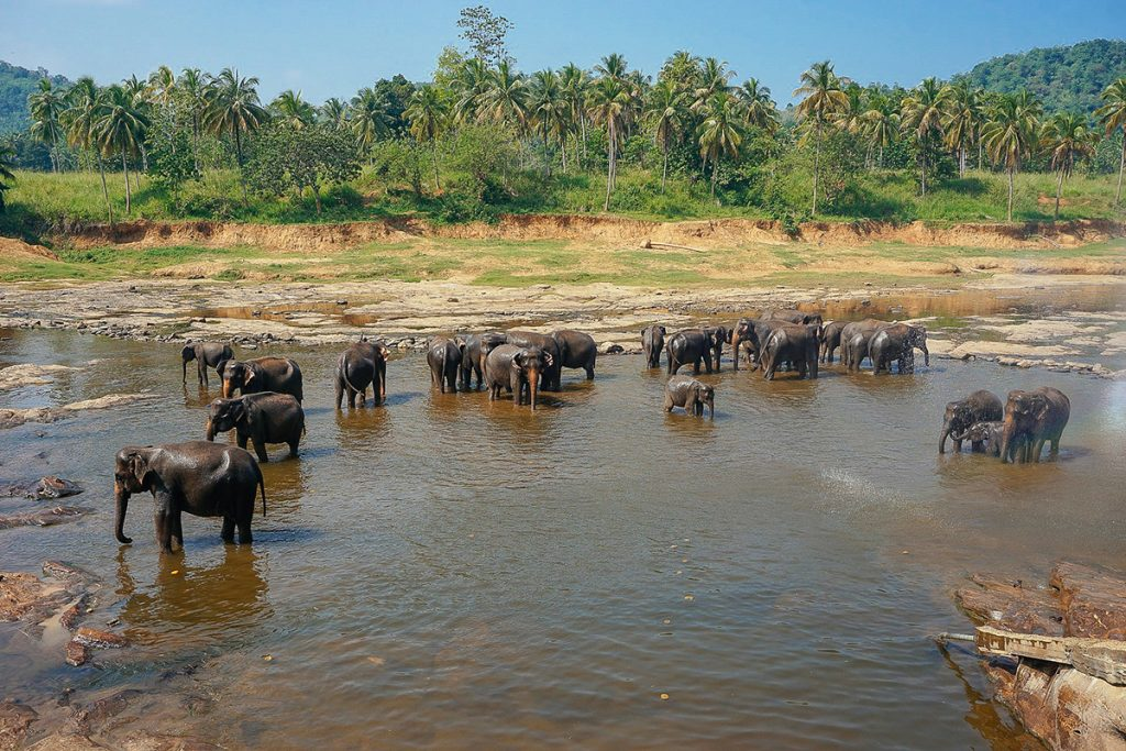 Pinnawella elephant orphanage where the elephants are bathing in the river twice a day