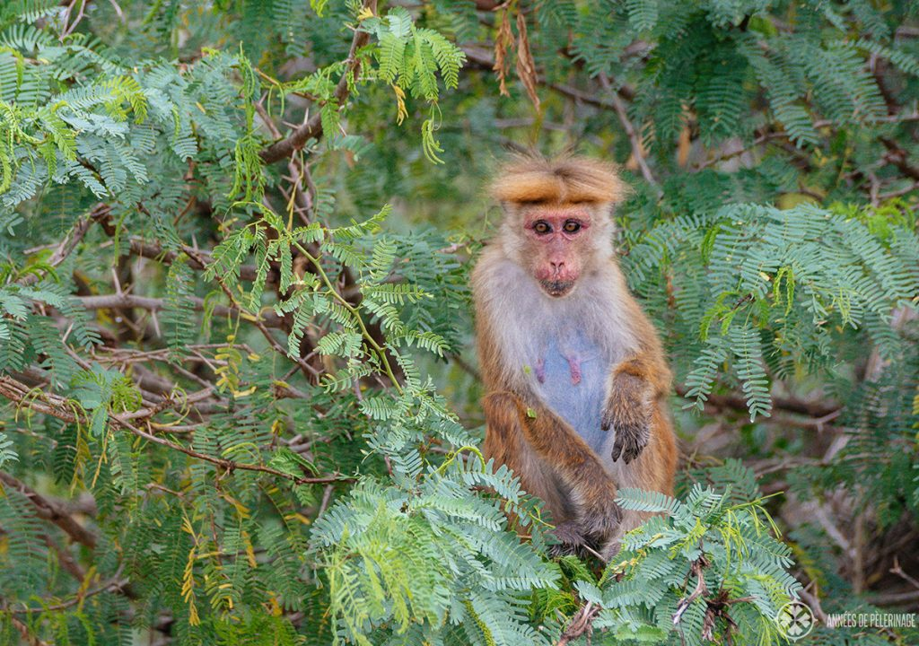 a toque macaque in Bundala national park Sri lanka