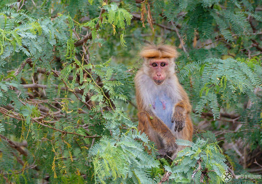 a toque macaque in Bundala national park Sri lanka
