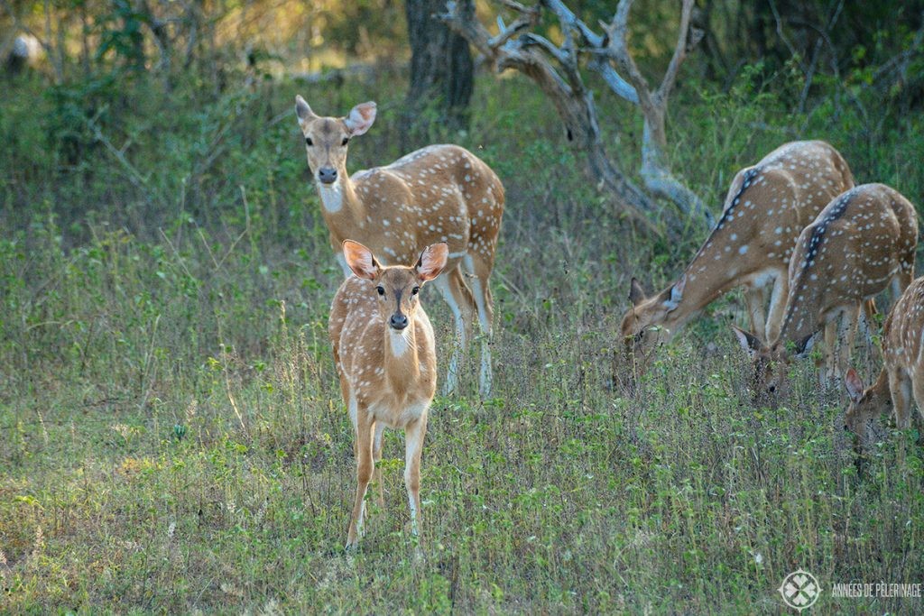A group of axis deer shying away from the jeeps in minneriya national park sri lanka