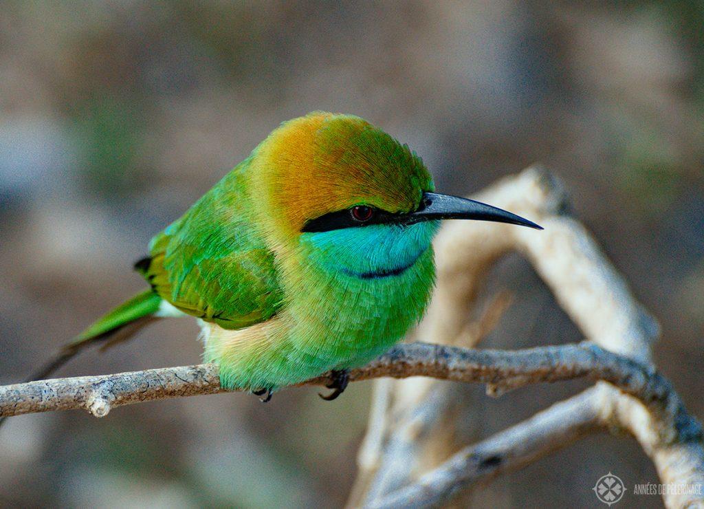 A green bee-eater seen on a safari in Sri Lanka