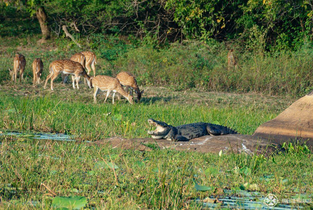 A crocodile basking in the sun in Yala National park sri Lanka - probably the best place to go on a safari in Sri Lanka