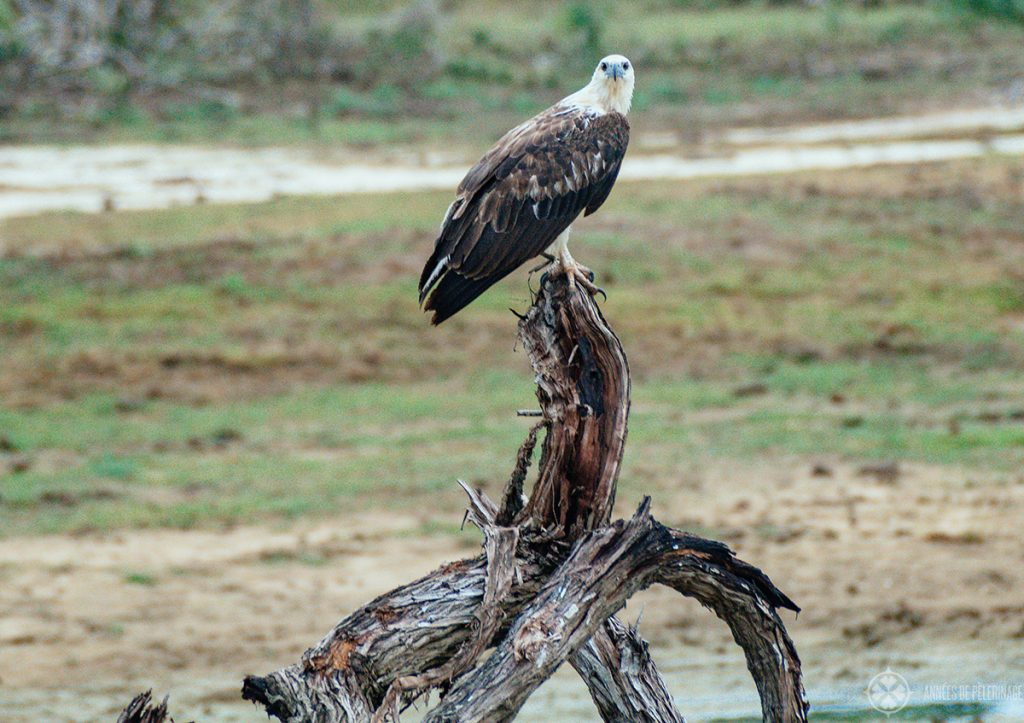 An eagle seen in Bundala National Park Sri Lanka