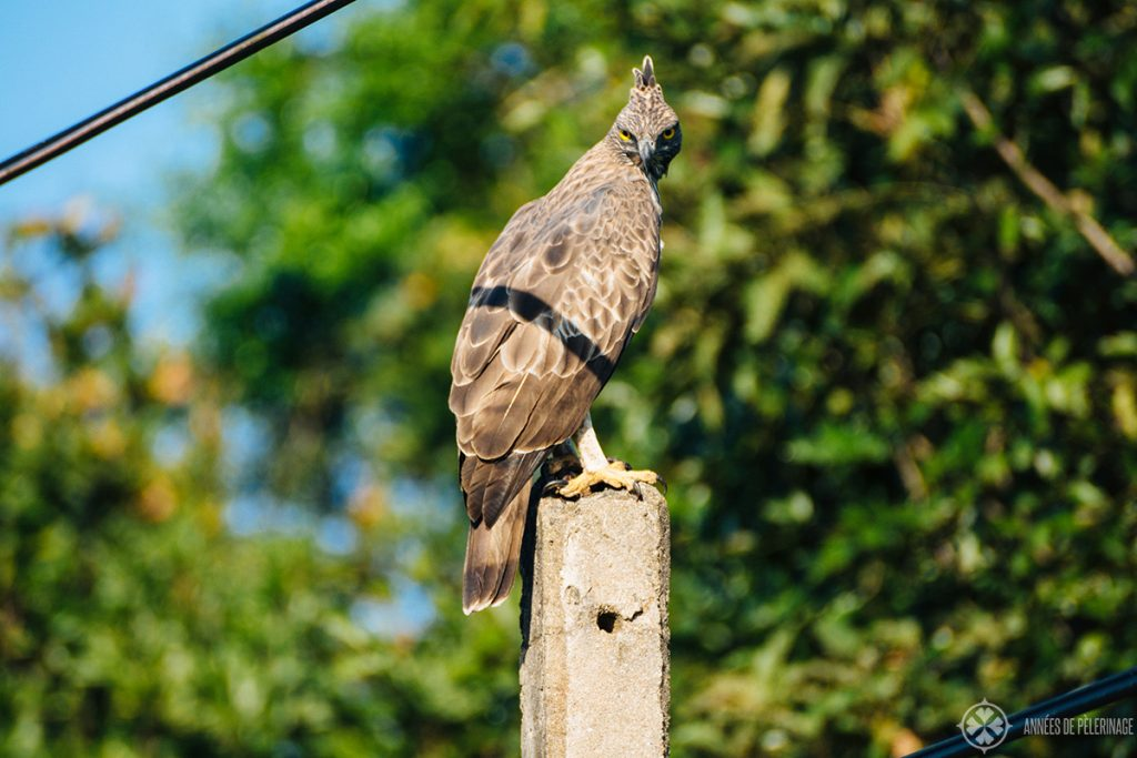 A changable Hawk-Eagle as seen in Minneriya national park sri lanka