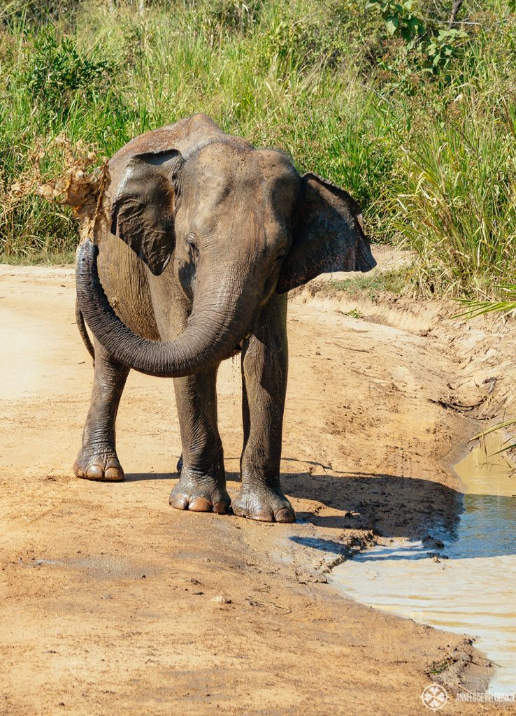 An elephant splashing mud on its back in Udawalawe national park sri lanka