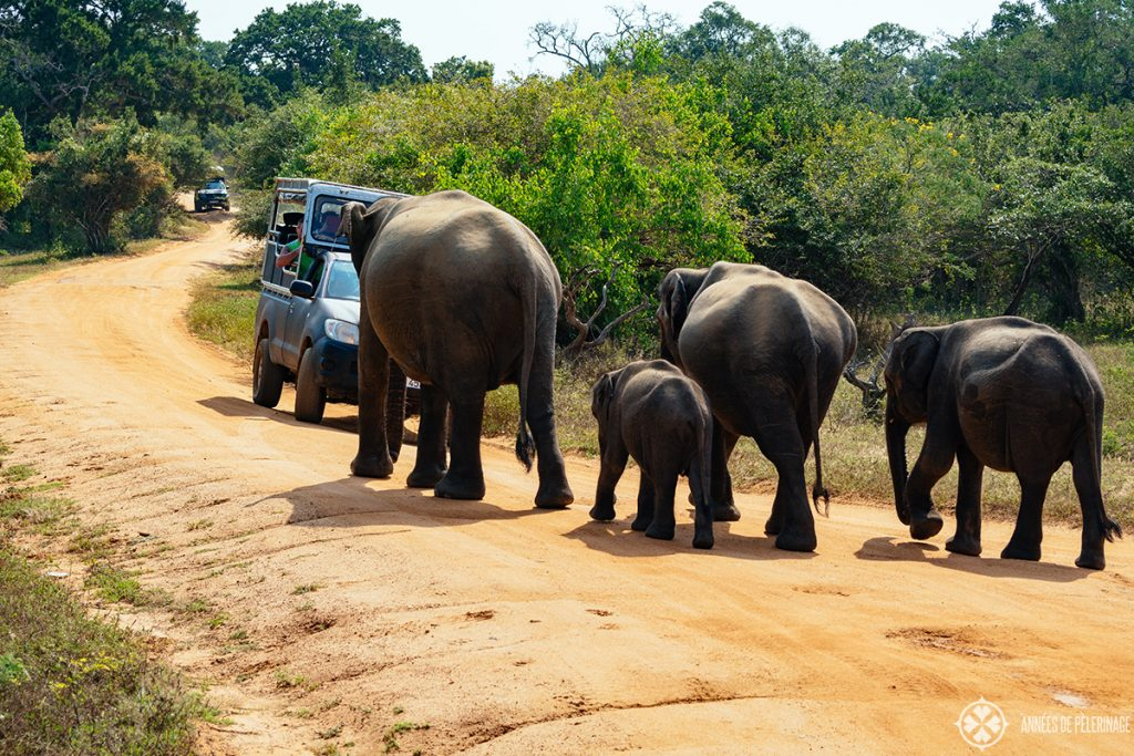 A group of elephants walking along the road in Udawalawe national park sri lanka safari