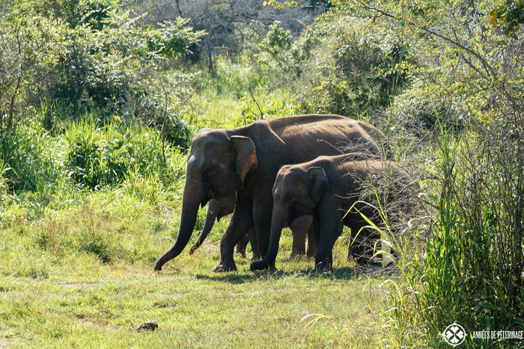 A group of elephants walking through Minneriya National Park in the north of Sri Lanka