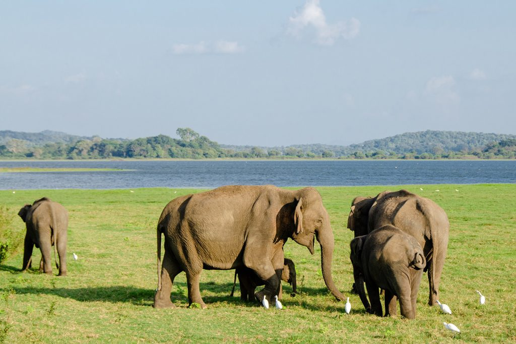 A herd of elephants in Minneriya national park sri lanka