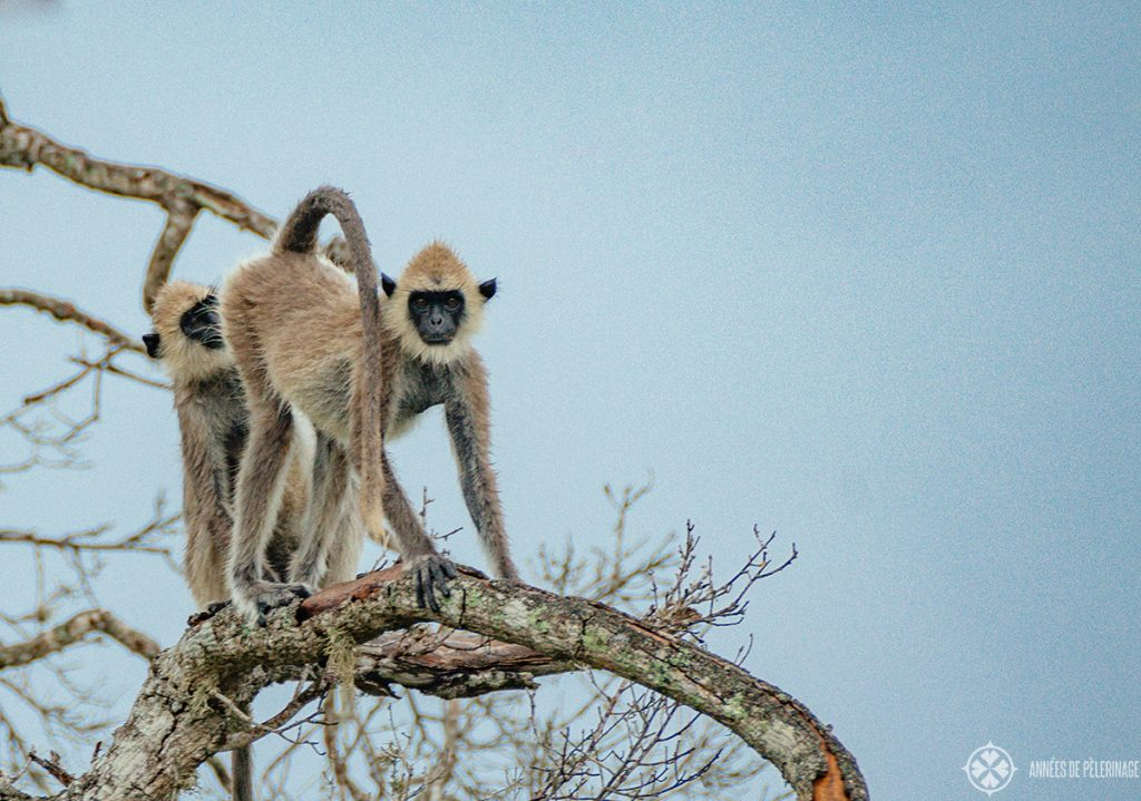 A grey langur seeking the high branches of a tree after a rain in Sri lanka