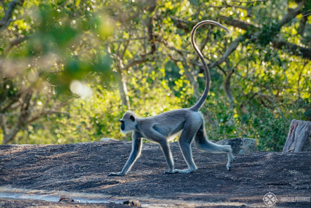 A grey langur in yala national park