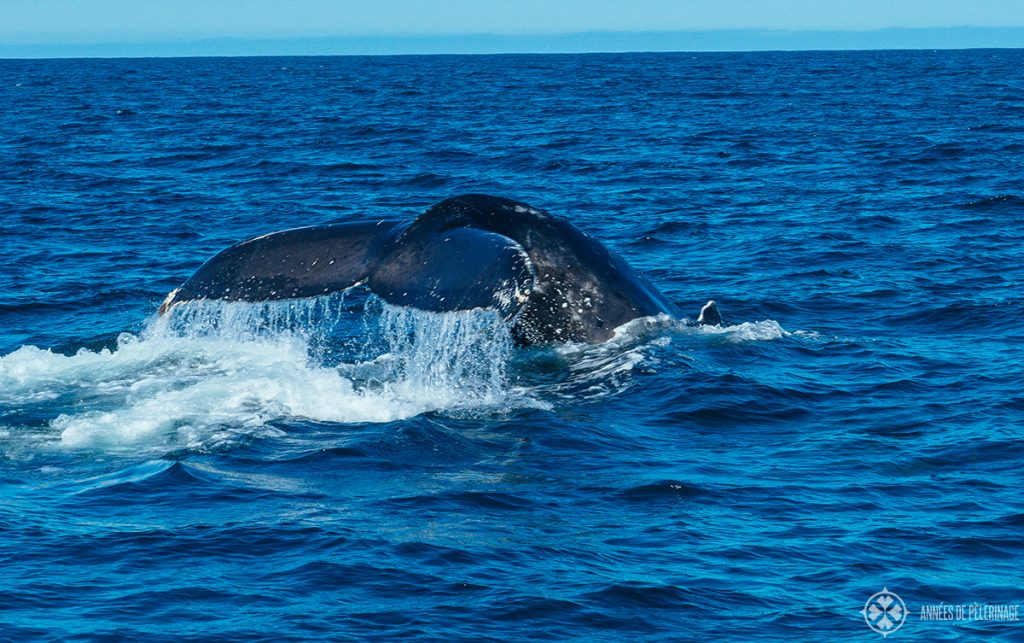 A humpback whale near Mirissa - sri lanka is one of the best spots on this planet to observe whales