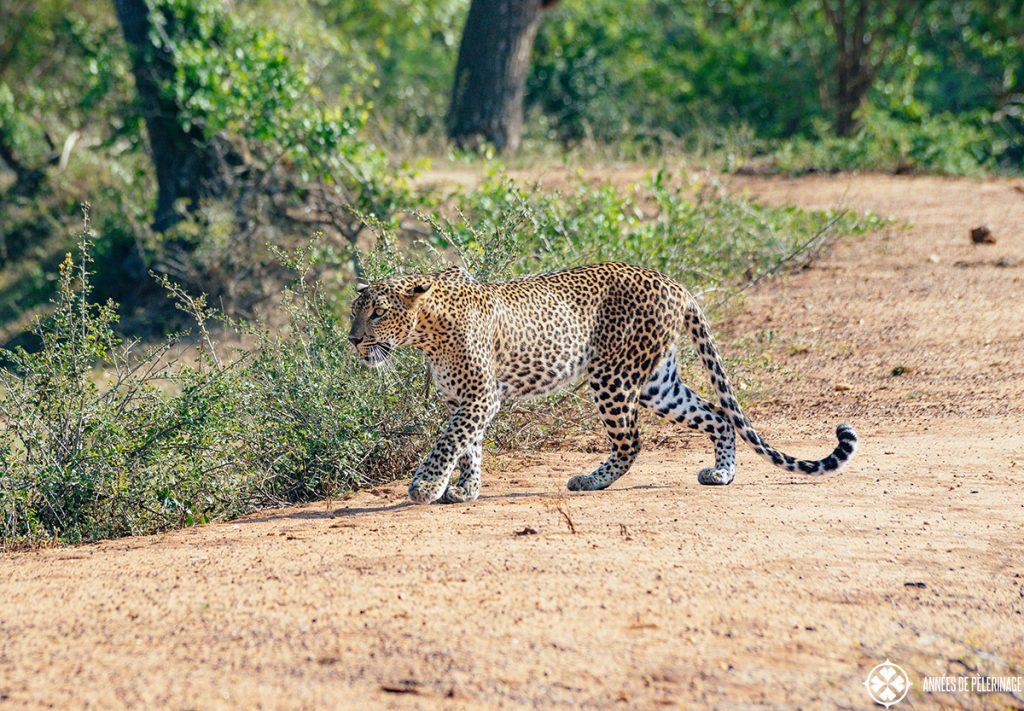 A beautiful Leopard walking across the road through Yalla National Park in Sri Lanka