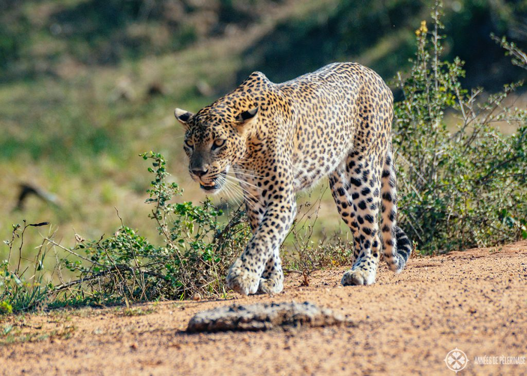 A beautiful Leopard at Yala National Park - the highlight of any Sri Lanka safari