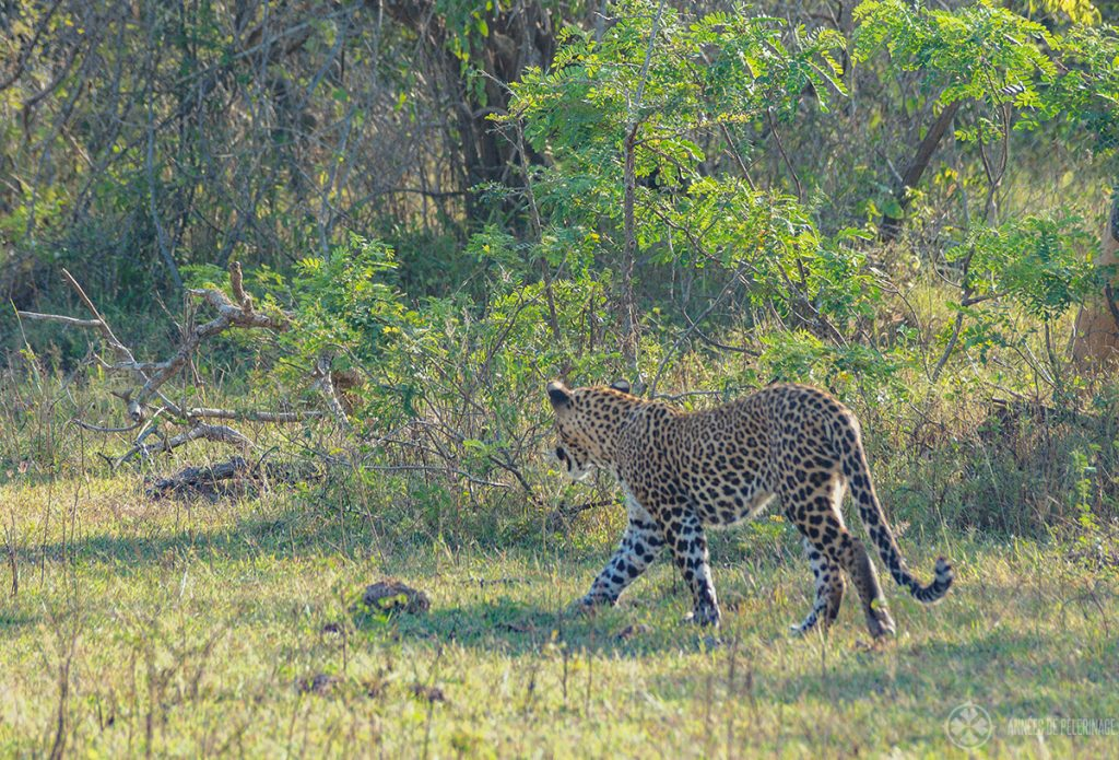 A leopard showing his beautiful back in Wilpattu National Park sri lanka