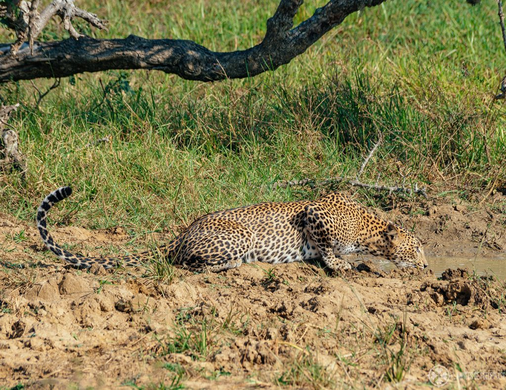 A leopard at a water hole - the dry season is generally speaking the best time to go on a Safari in Sri lanka