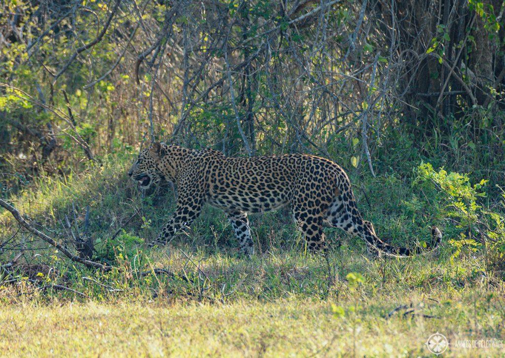 A leopard stalking through the bushes in Wilpattu national park seen on a Sri Lanka safari