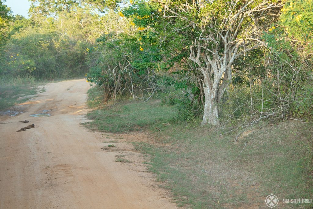 The harsh reality of a safari in Sri lanka: 95% of the time you will see shrubs and dust