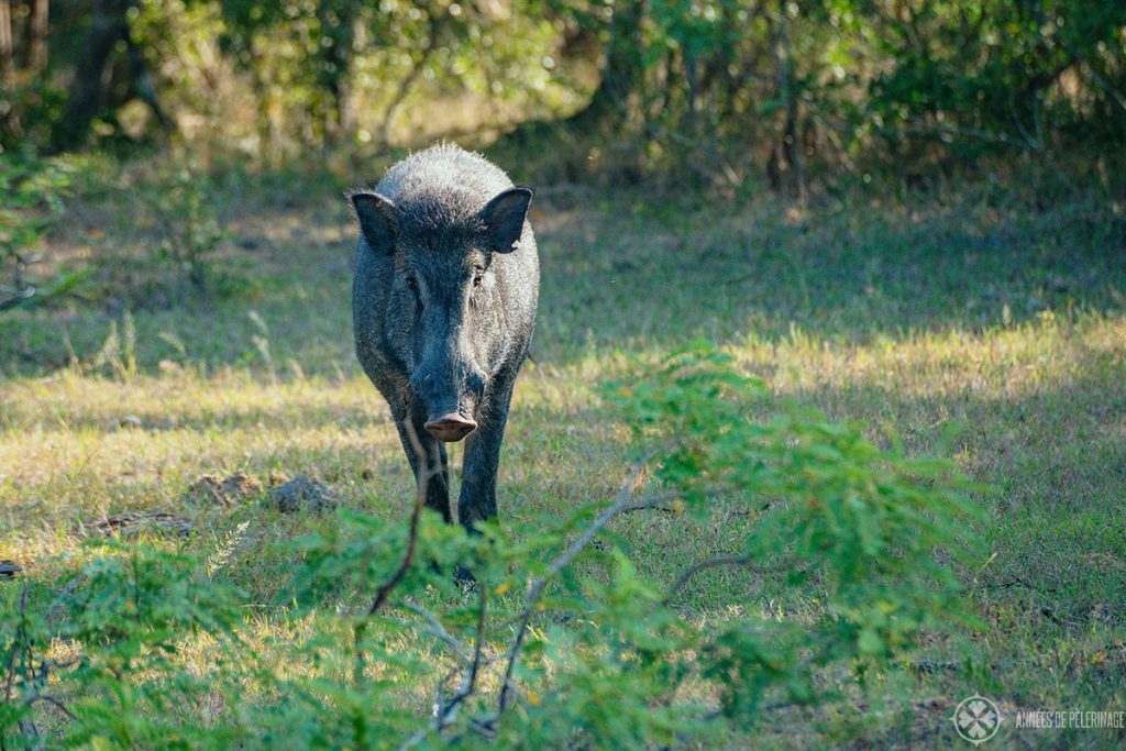 A Sri Lankan Wild Boar in Wilpattu national Park one of the many places you can go on a safari in Sri Lanka