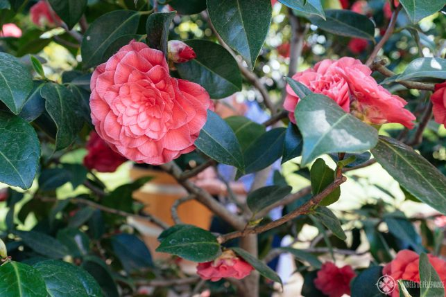 closeup of the Japanese Camellia blossoms in Pillnitz Castle, Germany