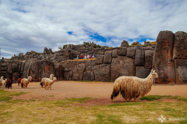 A group of Lama and alpaka in front of the Sacsayhuaman Inca ruins near Cusco