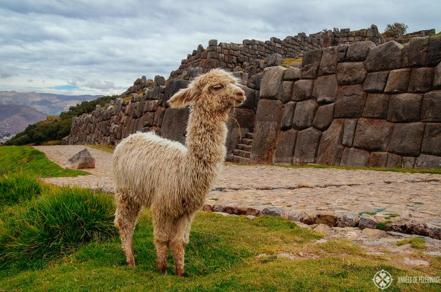 A baby lama in front of the wall around  Sacsayhuamán with Cusco, Peru, in the far background