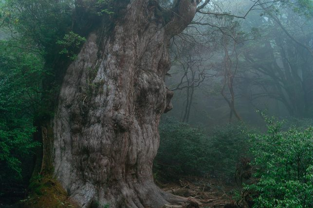 The  Jōmon Sugi tree on Yakushima island - the oldest living tree in the world