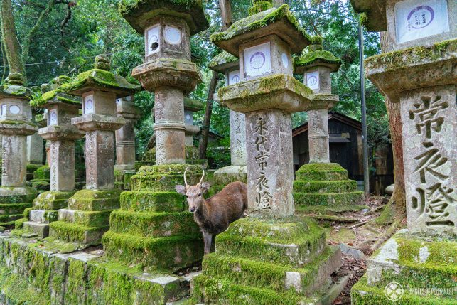 The moss-covered lanterns of Kasuga Taisha with a deer hiding in between