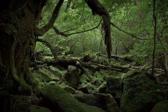 View of the primeval forest on Yakushima island - a UNESCO World heritage site and one of the many highlights in Japan