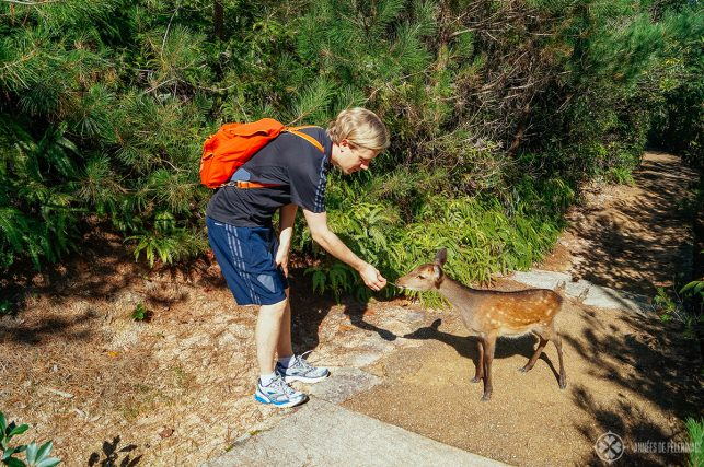Me feeding one of the wild deer on Miyajima Islands