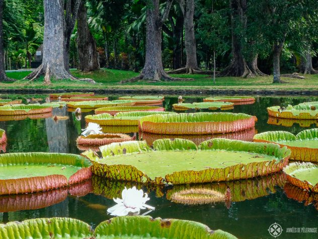 The giant waterlily pond inside the Pamplemousses Botanical garden