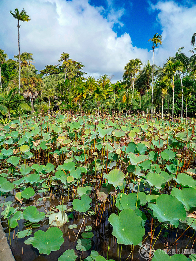 A pond full of lotus blossoms in the Botancial Garden of Mauritius
