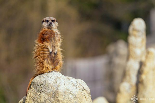 A meerkat in the Wilhelma-Zoo in Stuttgart