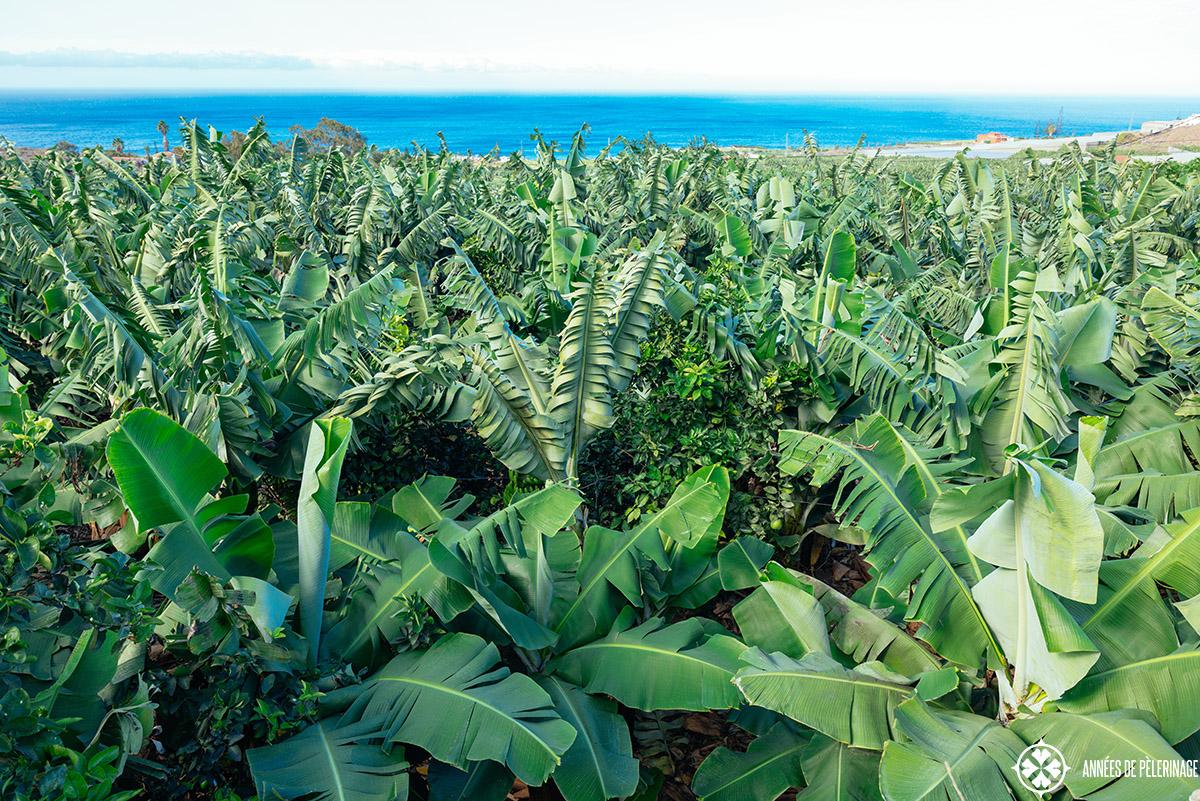 A banana plantation in Tenerife, Spain