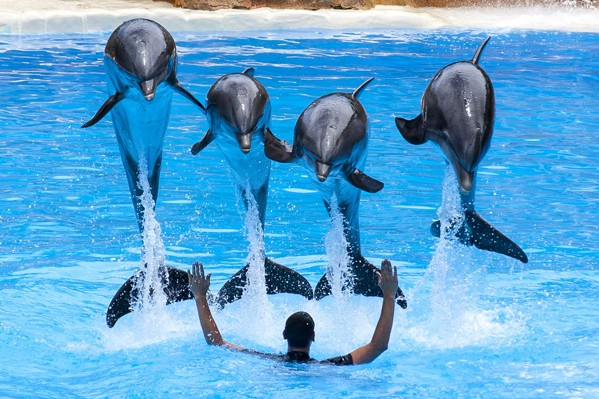 dolphins at loro park tenerife jumping in the air and doing tricks
