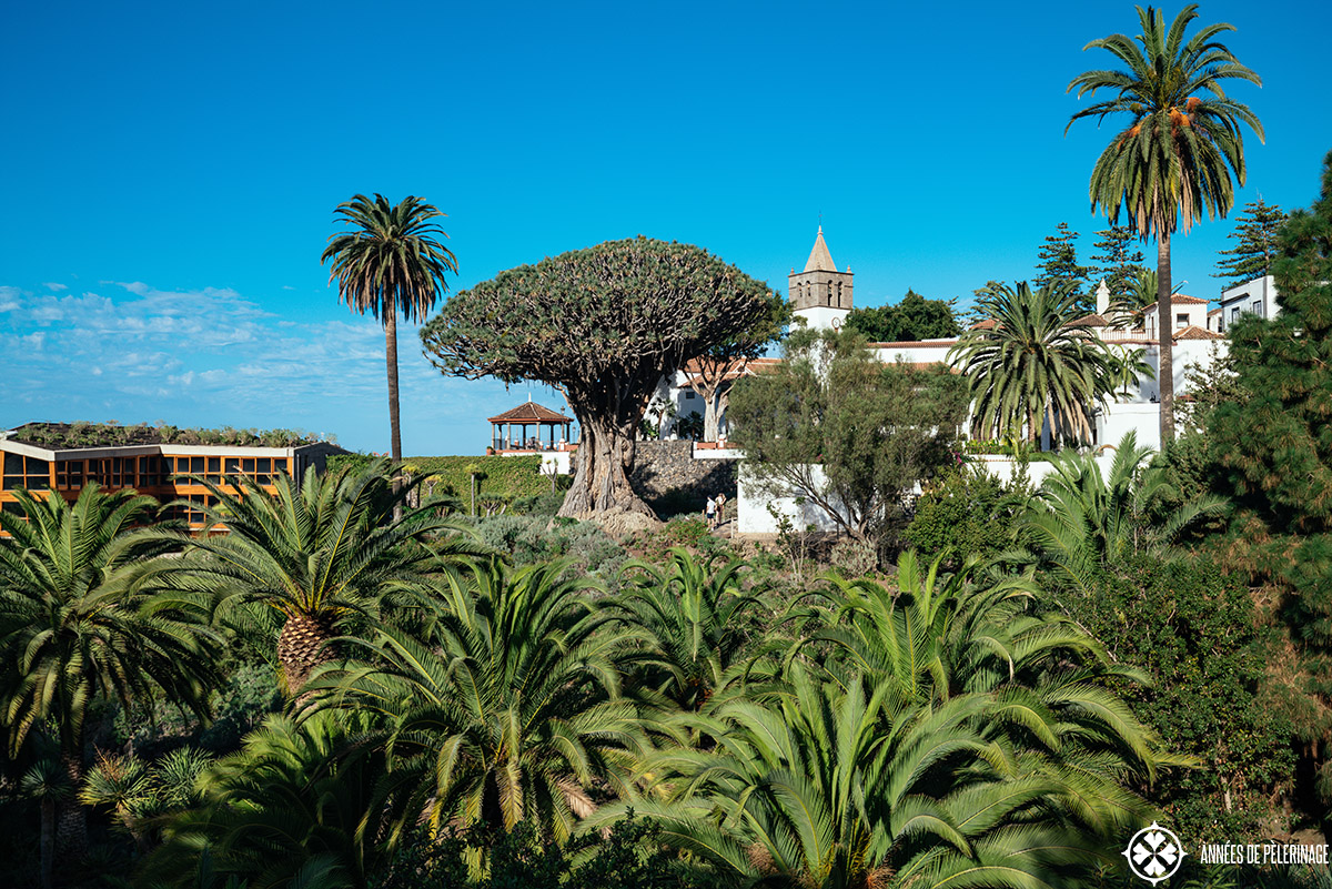 The Drago Millenario in its park in Icod, Tenerife