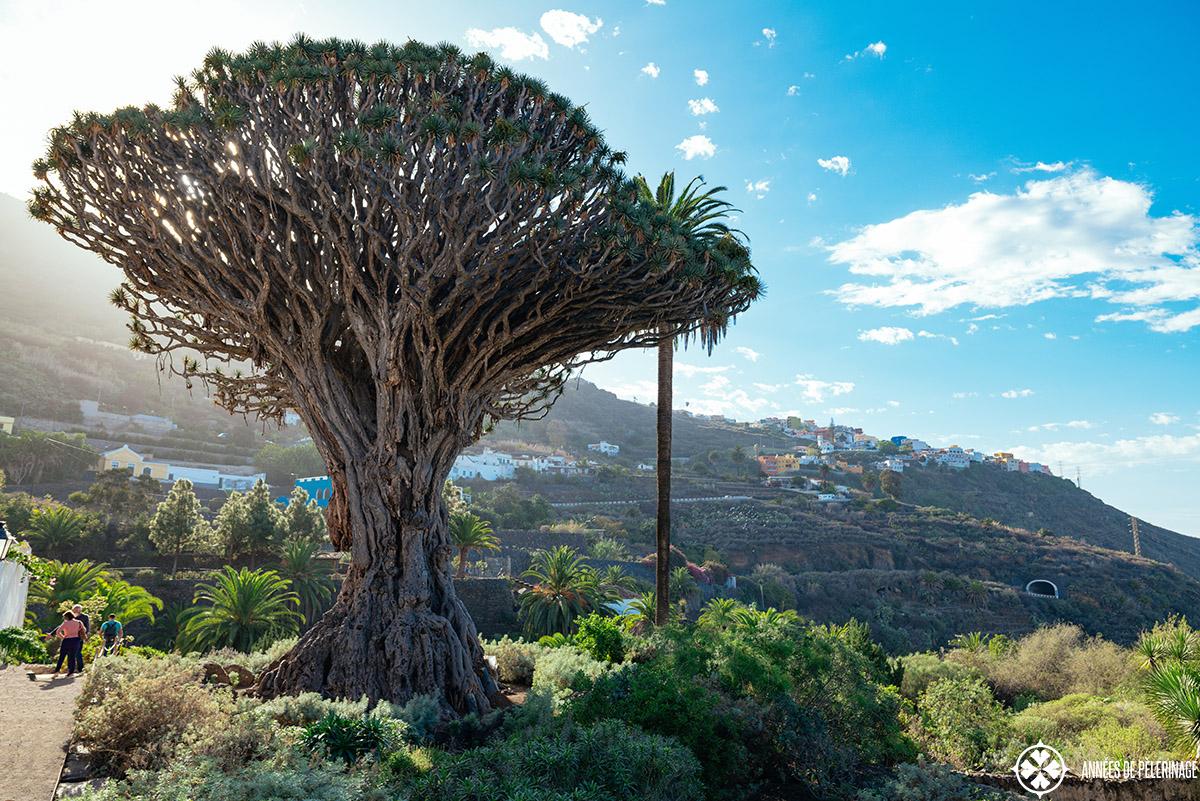 The thousand year old dracaena tree in tenerife called drago milenario
